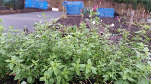 Blackcurrant Sage still going strong.